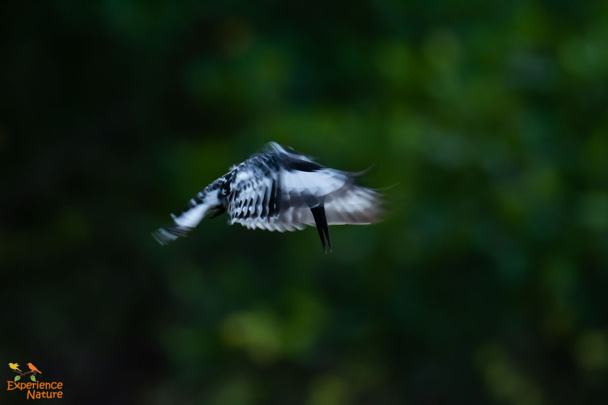 Bonte-IJsvogel