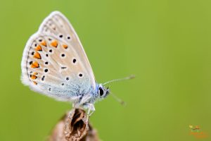 icarusblauwtje02